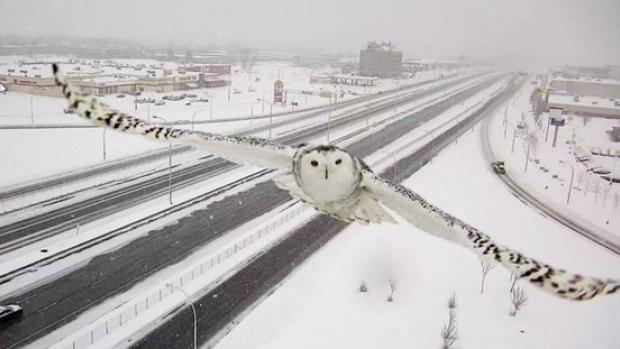 Búho del Ártico volando ante una cámara de tráfico (Montreal)