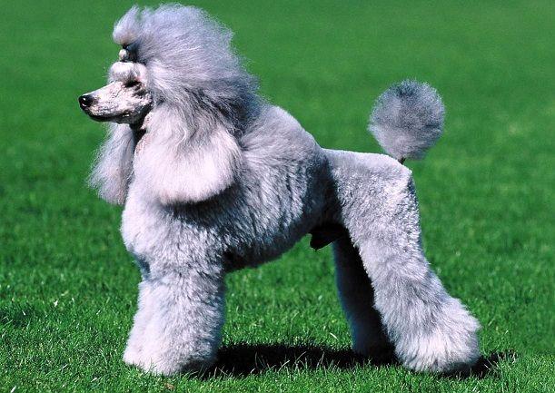 caniche--10-perros-mas-inteligentes