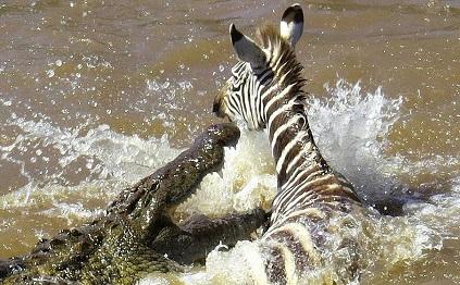 cebra cocodrilo