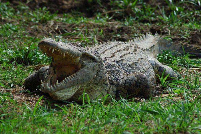 cocodrilo-del-Nilo--10-cocodrilos-mas-grandes-del-mundo
