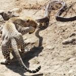 Leopardo atacando una piton enorme