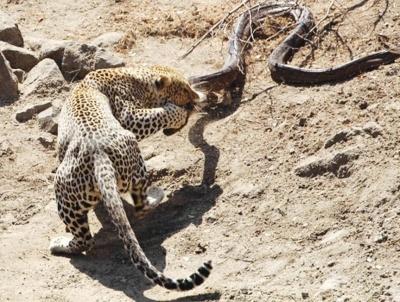 leopardo atacando piton