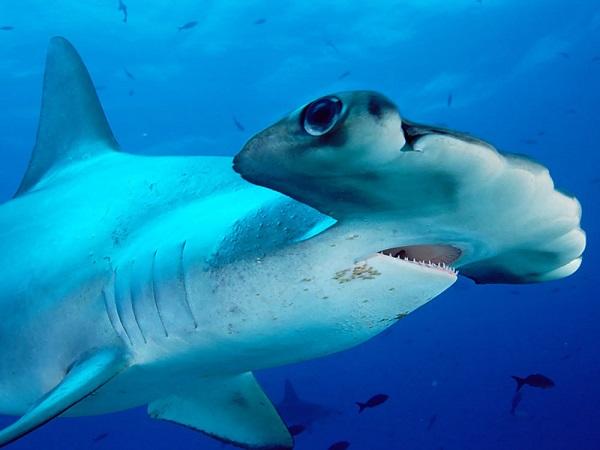 tiburon martillo liso Sphyrna zygaena 10 tiburones mas grandes del mundo