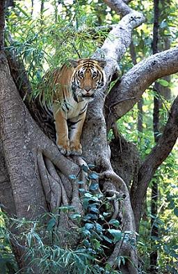 Tigre en un arbol