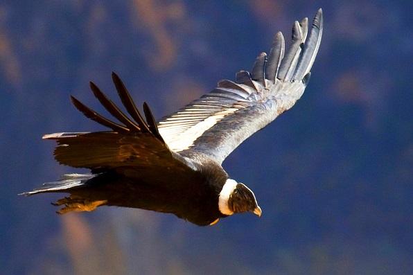 Cóndor de los Andes (Vultur gryphus) 10 pajaros mas grandes