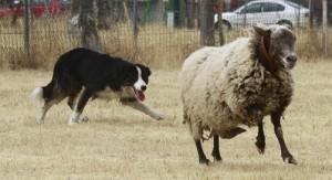 border collie oveja