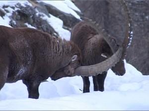 ciervos alpes