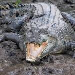 Enorme cocodrilo marino en el rio Kinabatangan