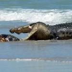 Cocodrilo marino comiendo en la playa