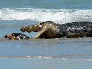 cocodrilo marino comiendo tortuga