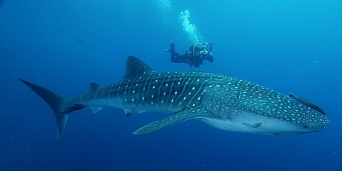 encuentro tiburon ballena