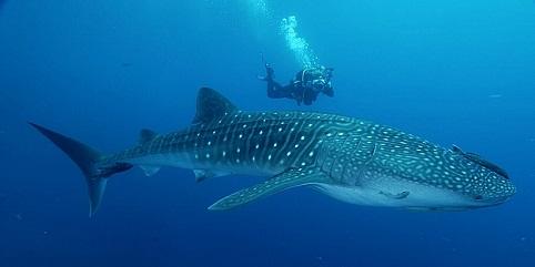 Encuentro con un tiburon ballena