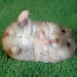 Hamster que se hace el muerto
