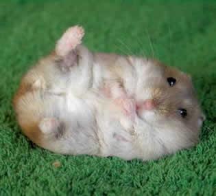hamster se hace el muerto