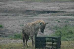 hiena caja comida