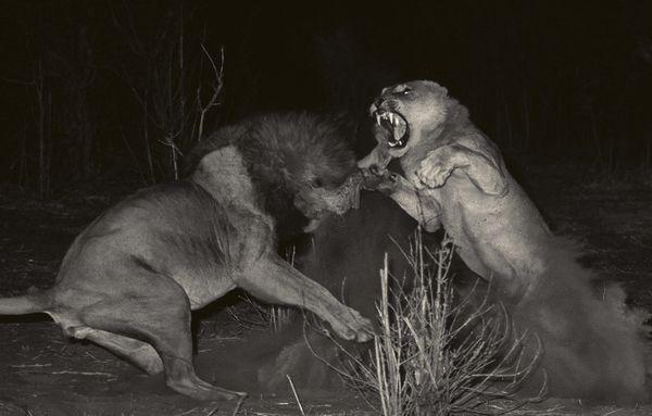 Leona y leon pelean a muerte en Idube
