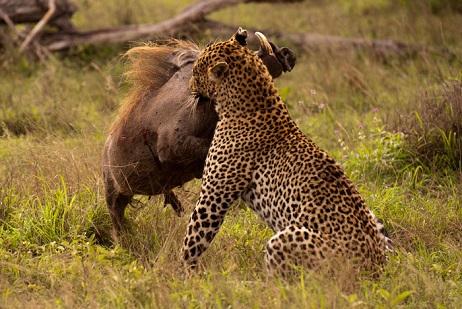 leopardo cazando jabali