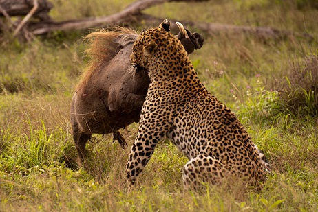 Paciente leopardo cazando un jabali