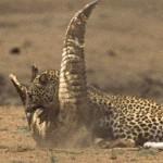 Leopardo, cocodrilo y una sola presa