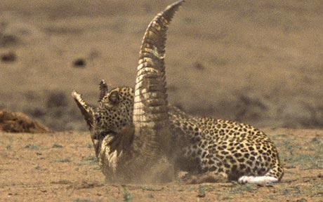 leopardo cocodrilo