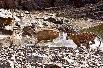 Escena con un tigre cazando un sambar