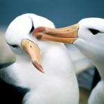 Albatros Gigantes del aire y del mar en peligro