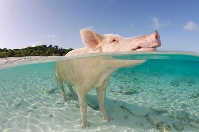 cerdo nadando
