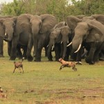 Elefantes defendiendo a su cachorro de perros salvajes