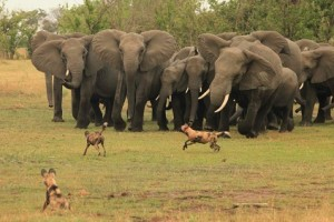 elefantes perros salvajes