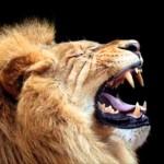 La llamada del rey, rugido de leon