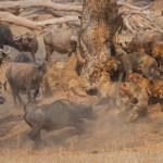 Leones y bufalos peleando