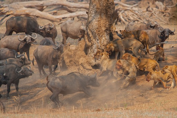 leones bufalos peleando