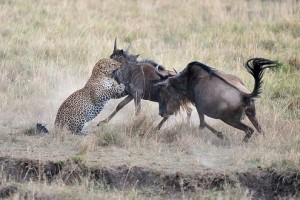 leopardo cazando ñu