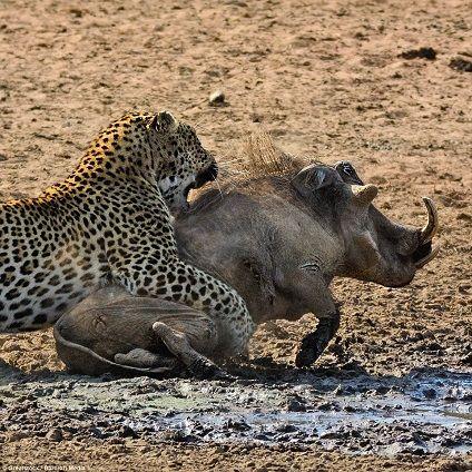 Leopardo caza un jabali y una leona se lo quita