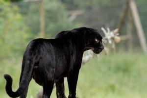 pantera negra espiritu