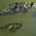 Piton atacando cocodrilo bajo el agua