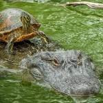 Tortuga en un mar de cocodrilos