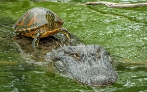 cocodrilo tortuga