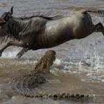 Cocodrilo cazando un ñu en la rivera