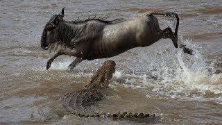 cocodrilo cazando ñu