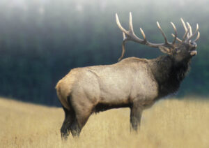 corzo berreando ciervo