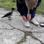 Muy divertido: Cuervo desata cordones sin parar