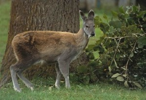 europa animal primavera ciervo