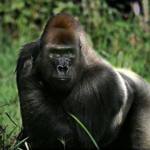 gorila congo makumba espalda plateada