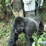 Gorila enfadado arrastra a una turista