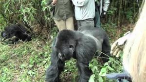 gorila enfadado ruanda