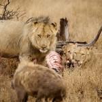 El rey leon espanta hienas como moscas