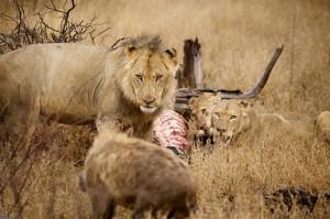 leones hienas