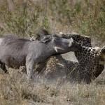 Jabali atacando a un leopardo