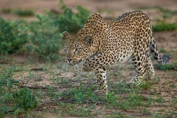 Leopardo cazando un antilope acuatico